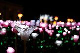Zimowe róże w Królewskim Ogrodzie Światła