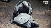 tytulKER: żółwie i pośladki w reklamie Tiger niegroźne dla dzieci